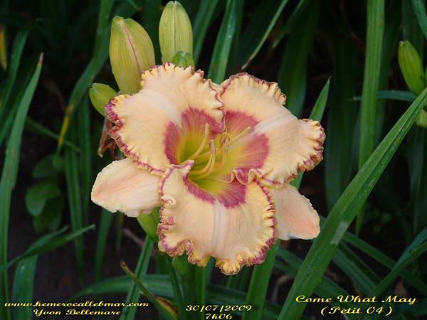 couper amaryllis après floraison